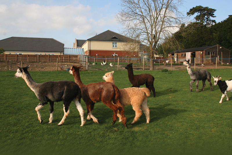 The Alpacas in the farm at Immacolata House Dementia Nursing Home Langport