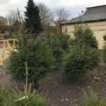 Grown Christmas trees at local farm