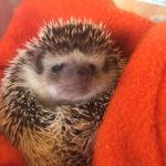 Oscar the hedgehog at Casa di Lusso